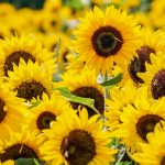 sunflower-3792914