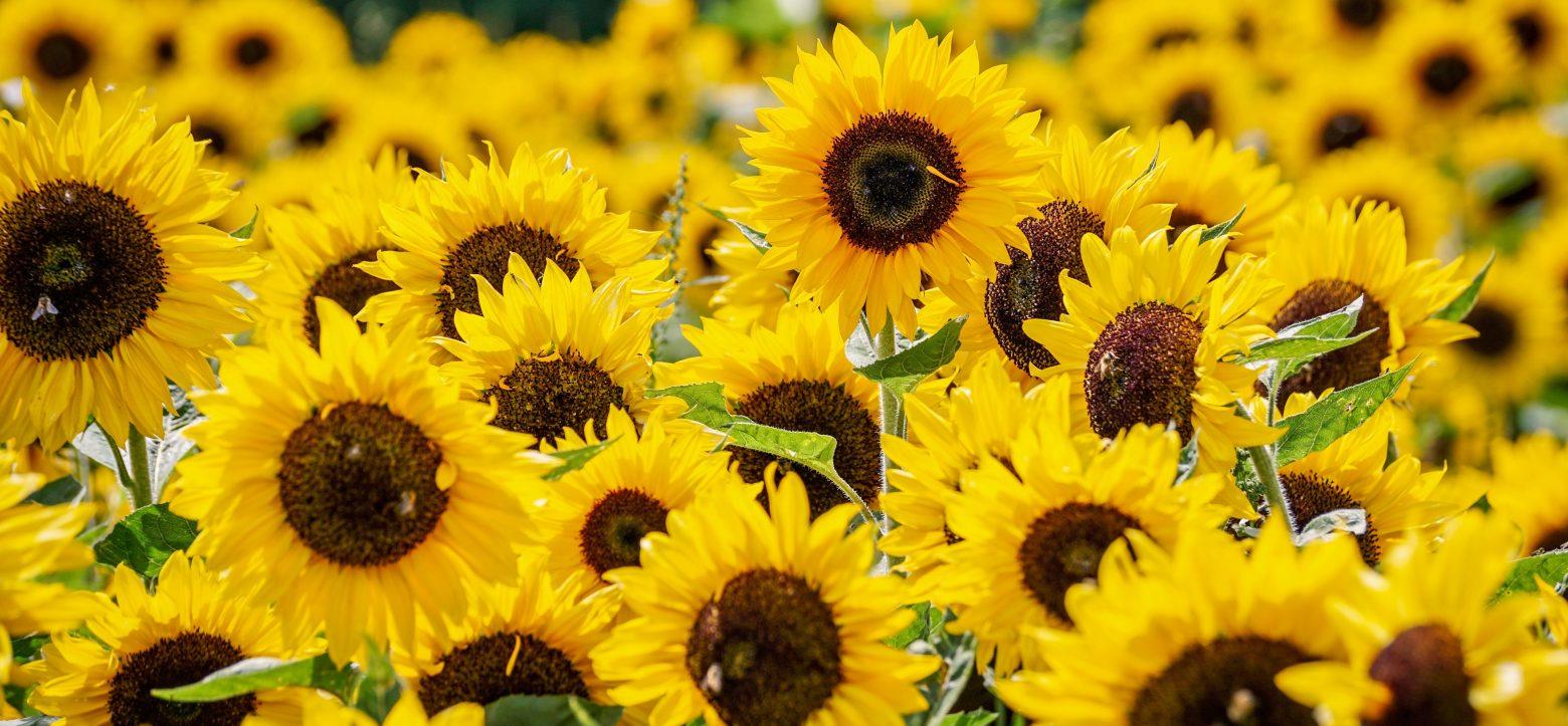 sunflower-3792914