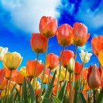 tulips-3251607