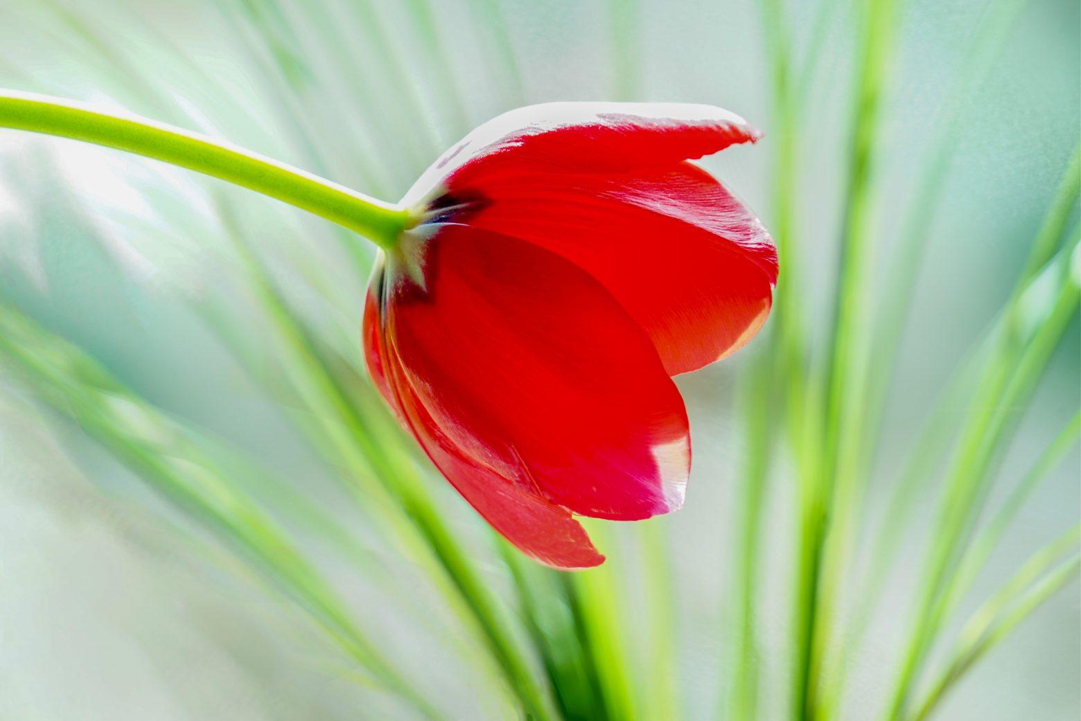 tulip-3324839