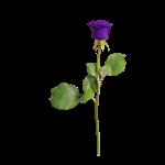 rose-3246277