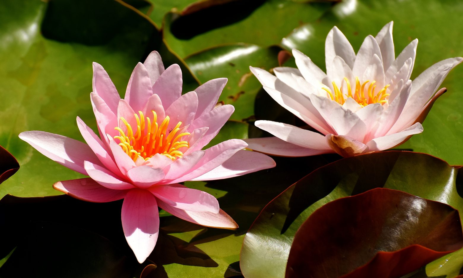 water-lilies-2393729