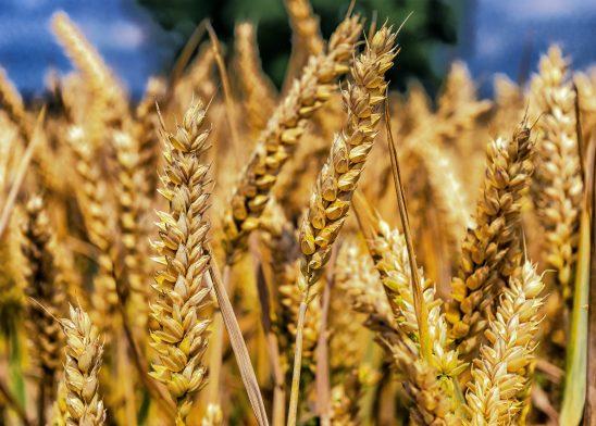 wheat-1506830