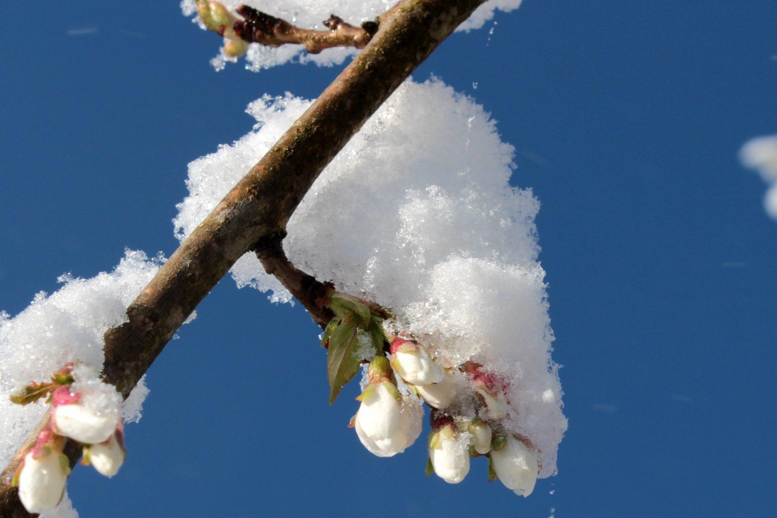 cherry-blossom-1356117