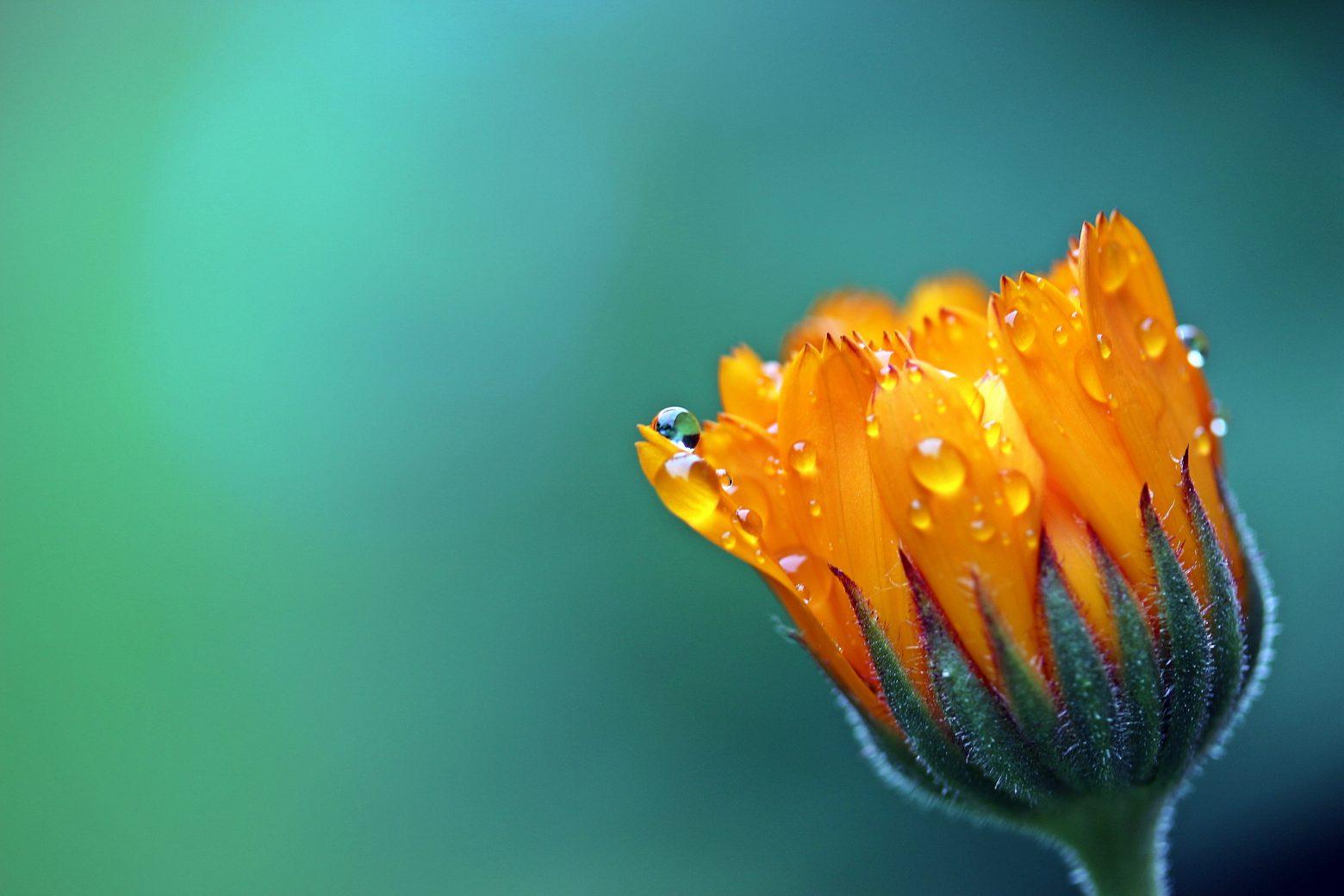 marigold-1568646