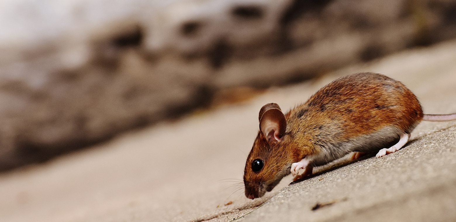 mouse-1708365
