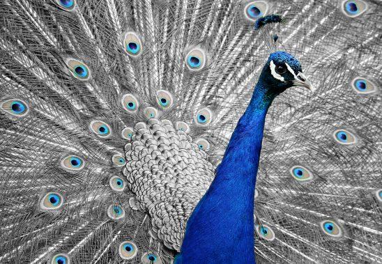 peacock-1676635