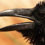 raven-4590