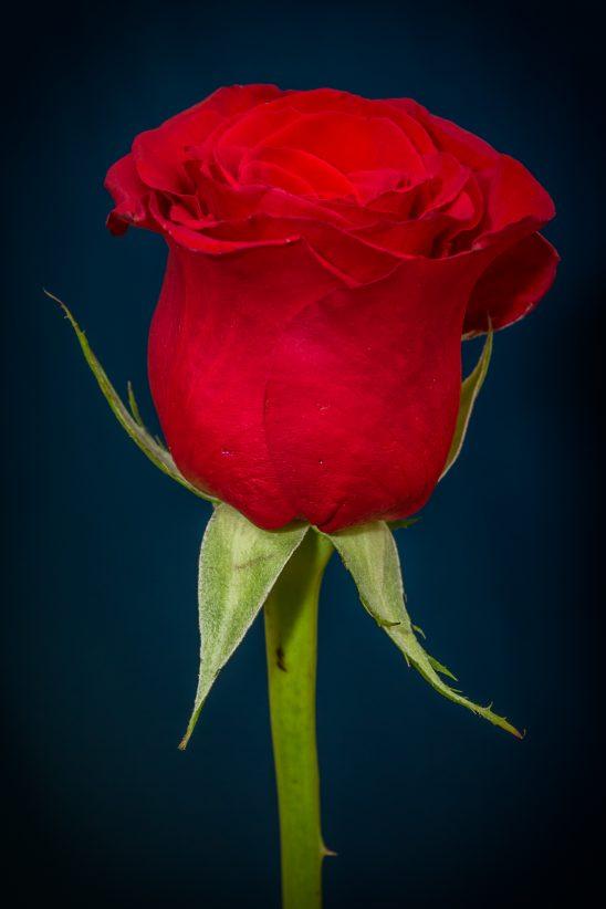 rose-266785