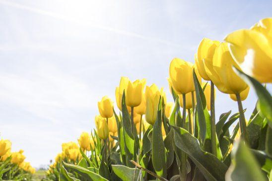 tulips-1375820
