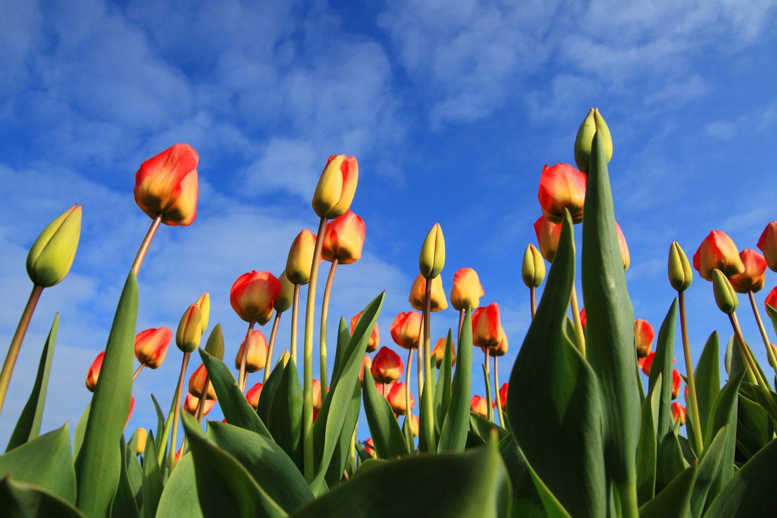 tulips-21598