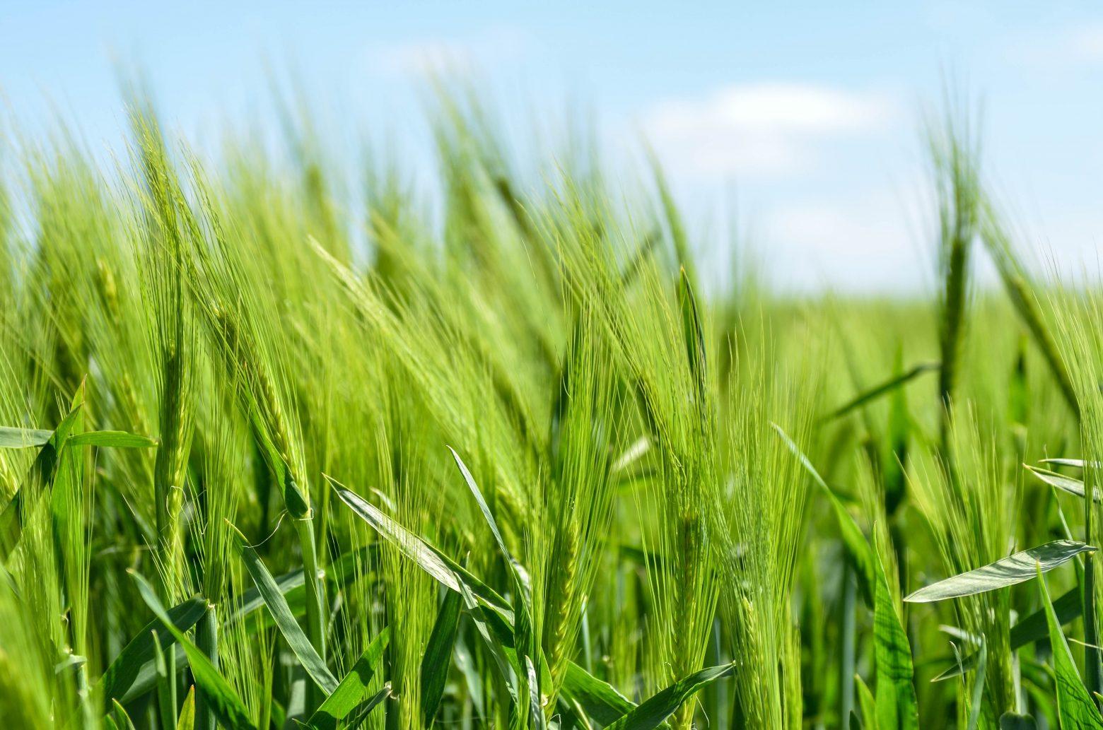 barley-872000