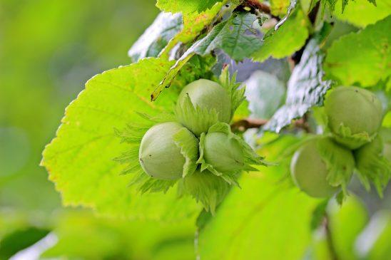 hazelnuts-1574367