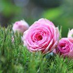 rose-1687547