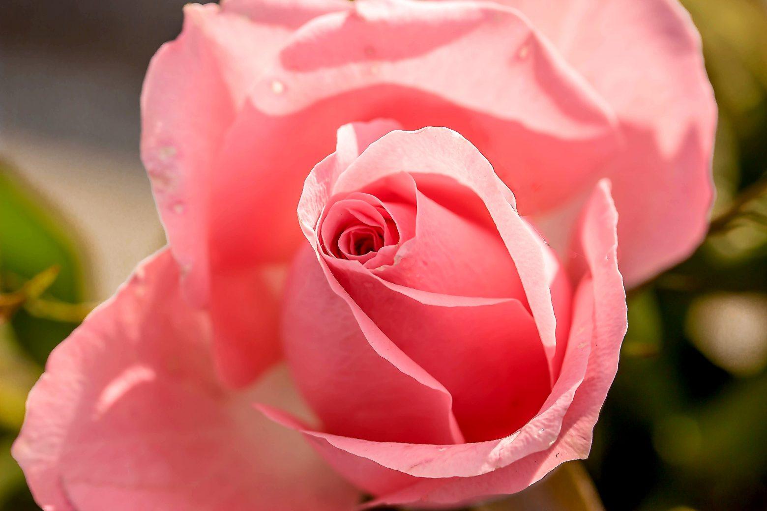 rose-1732782