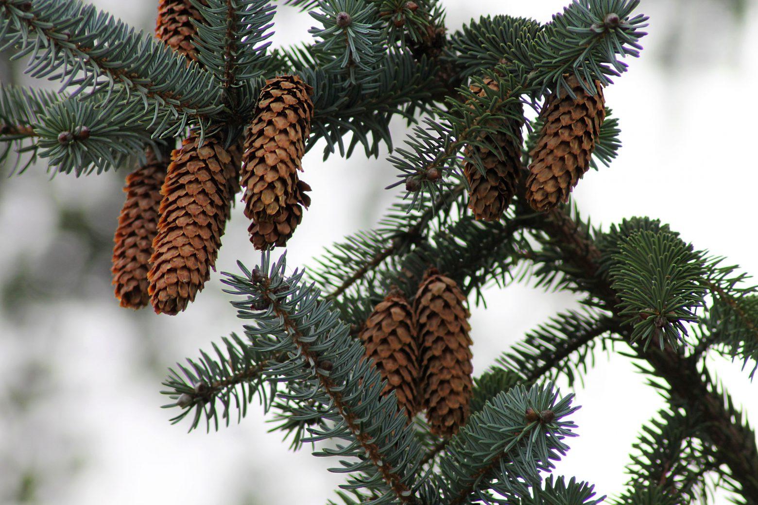 spruce-982783