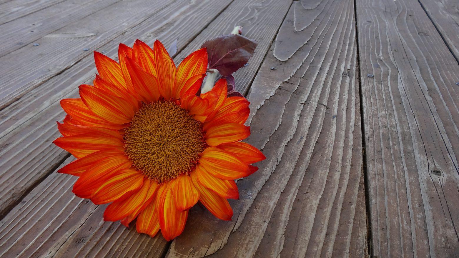 sunflower-187985