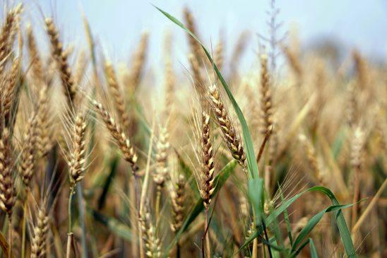 wheat-1556699