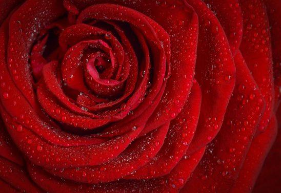 rose-1642970