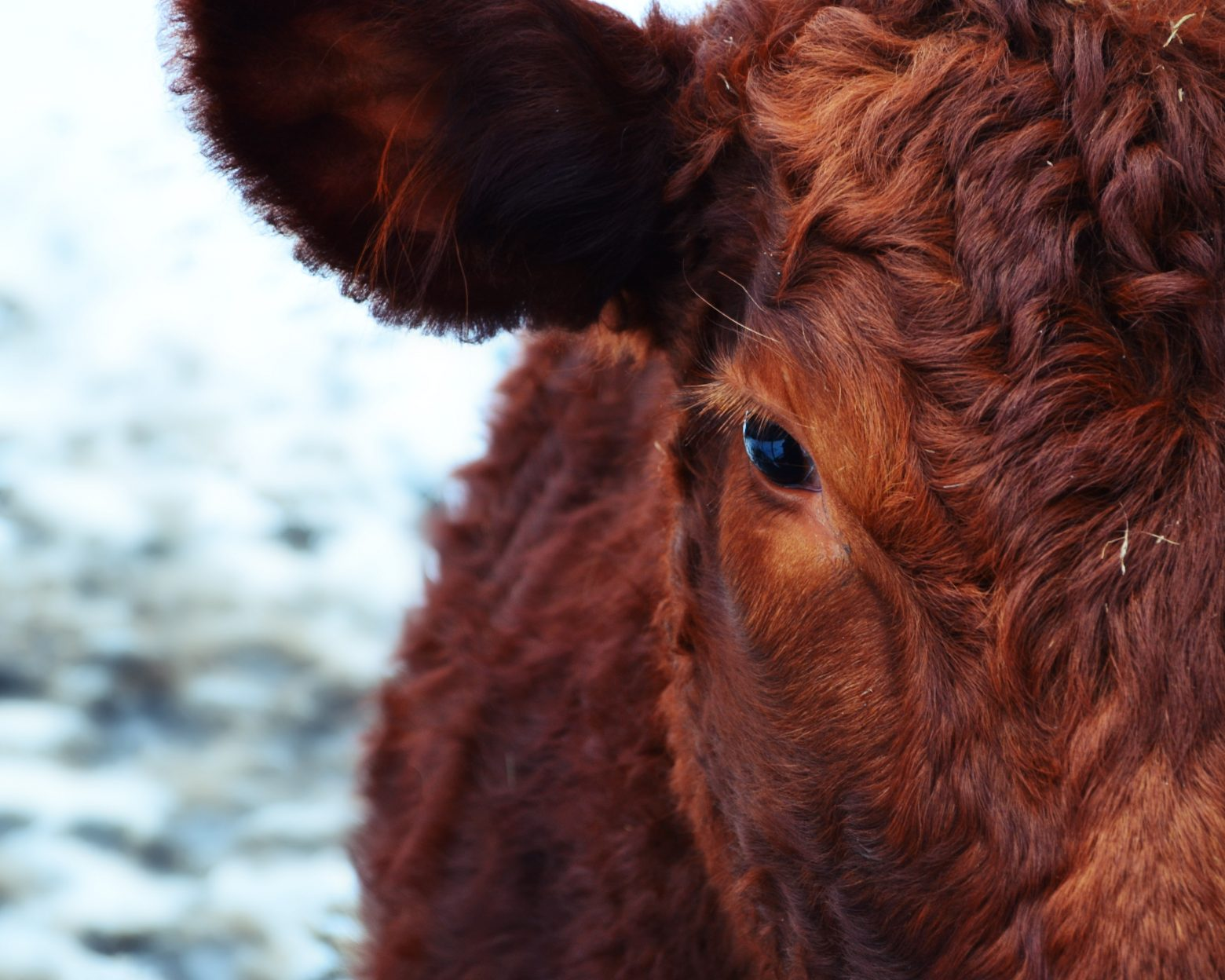 cow-174822