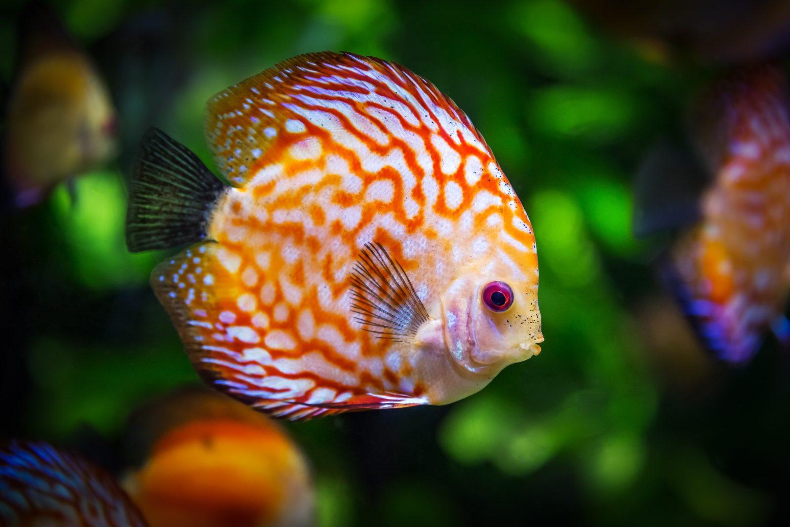 discus-fish-1943755 (1)