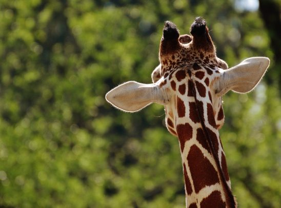 giraffe-1341638