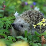hedgehog-548335