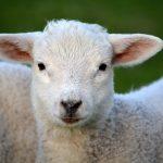 lamb-292512