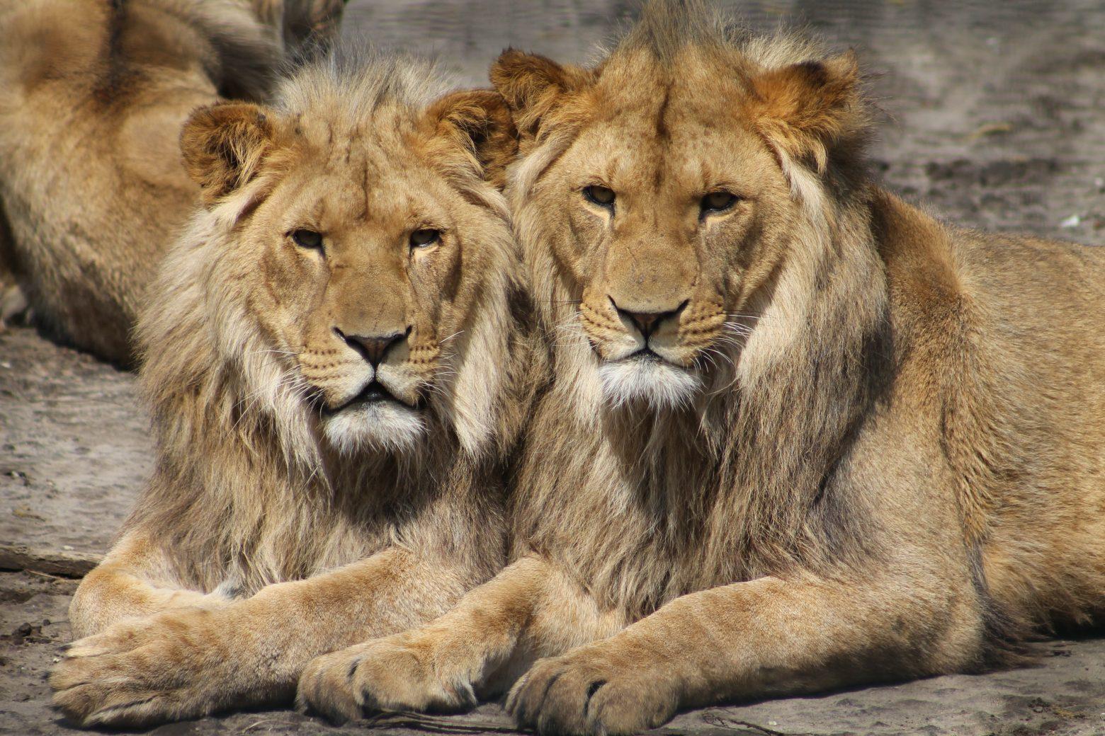 lions-1660044