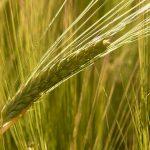 barley-field-8230