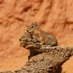 golden-mantled-ground-squirrel-4587