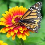 monarch-18140