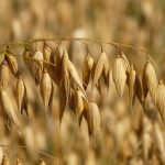 oats-8946