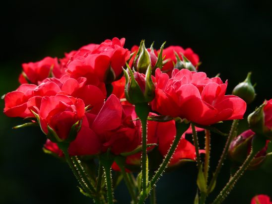 red-roses-4232