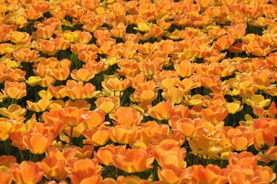 tulips-10296