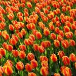 tulips-2544