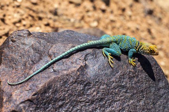collared-lizard-2275804