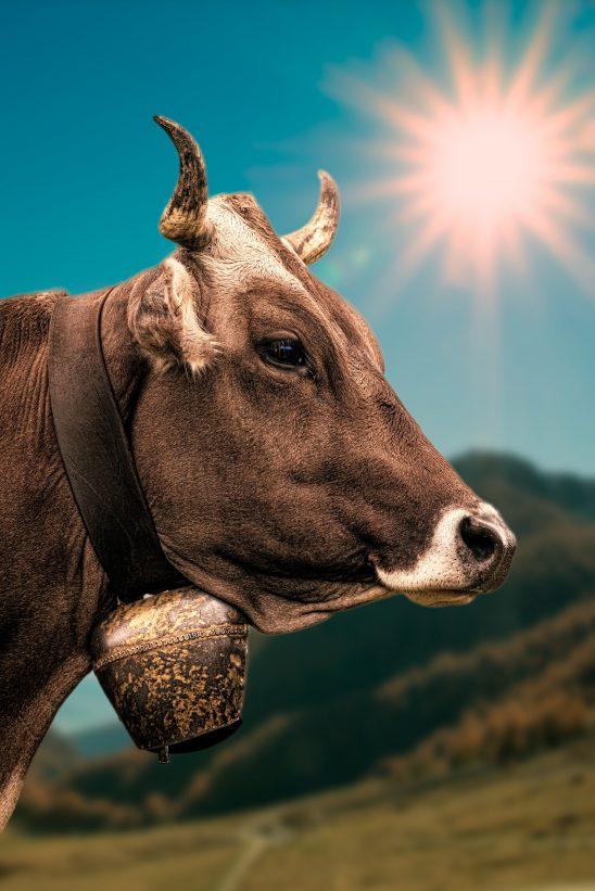 cow-2193018