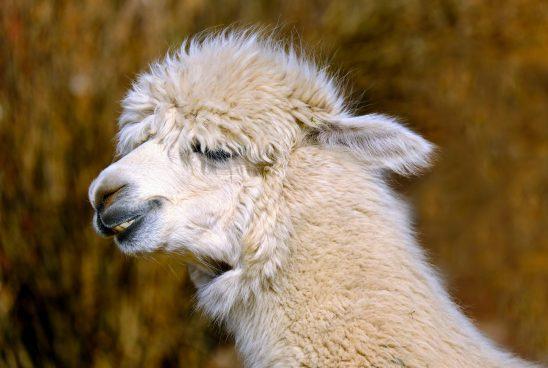 alpaca-2316484