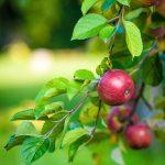 apple-484529