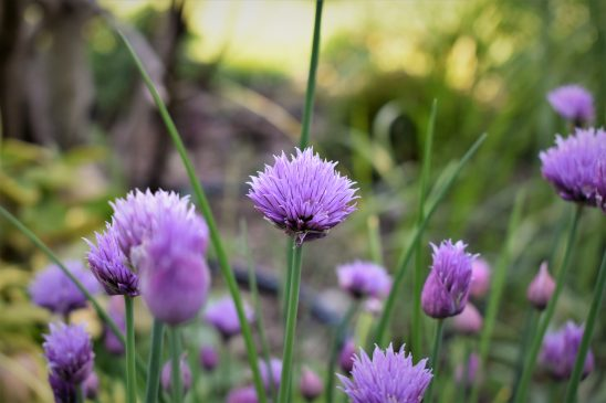 chives-2337854