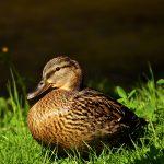 duck-2309540