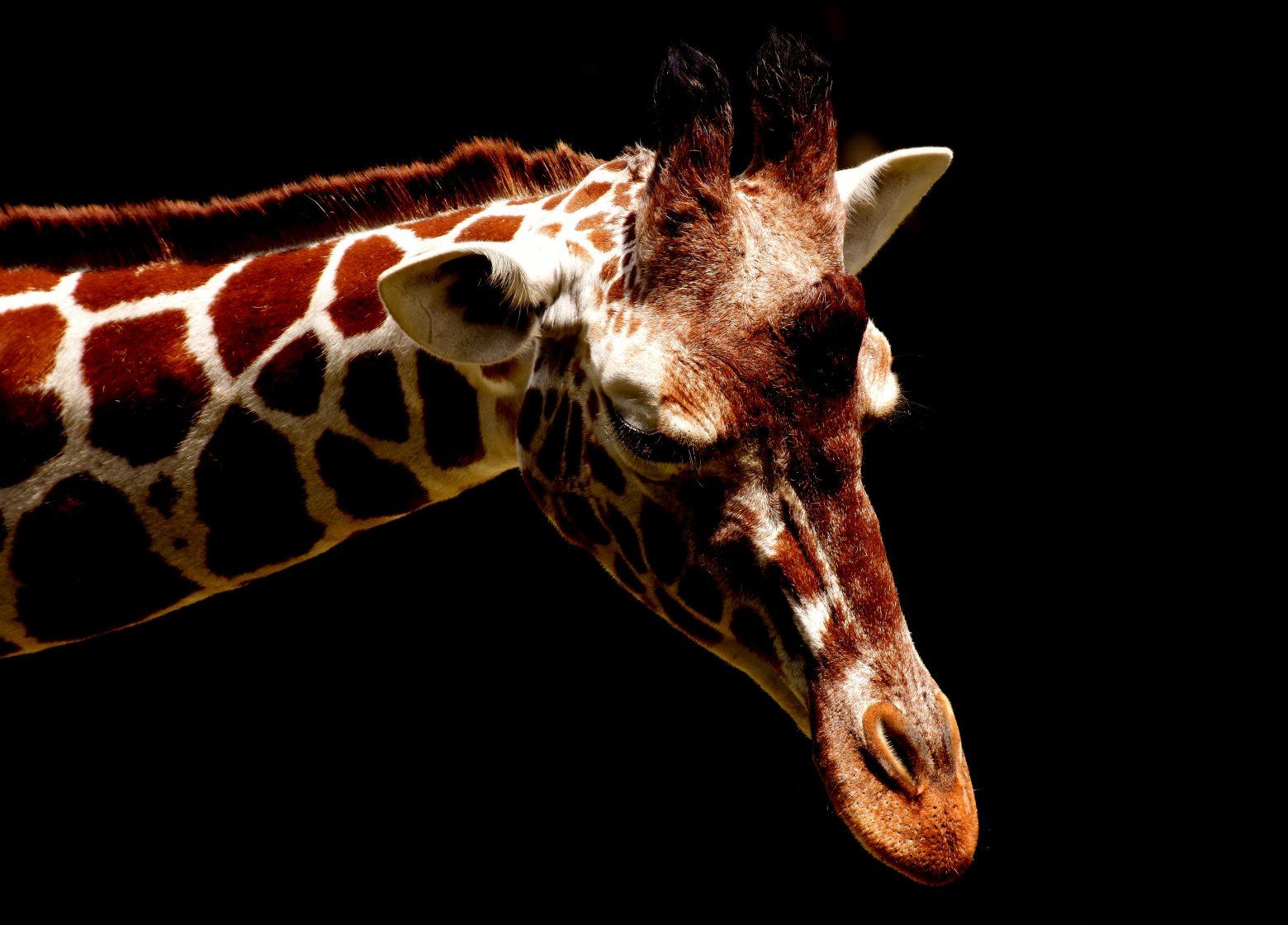 giraffe-2325160