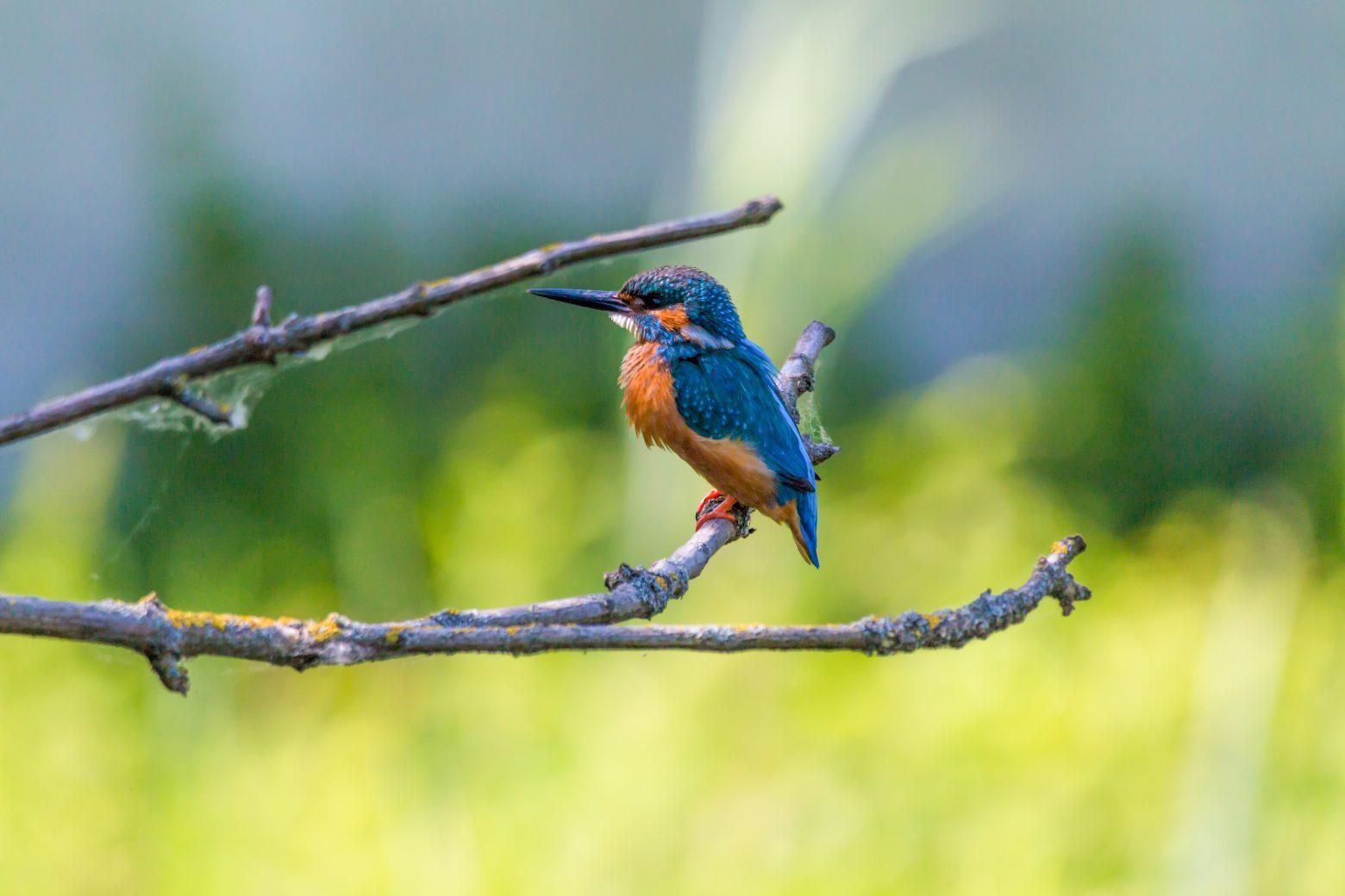 kingfisher-2349253
