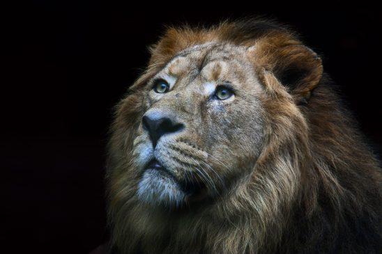 lion-2348216