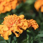 marigold-2324387