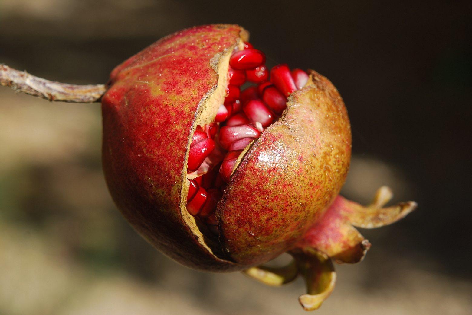 pomegranate-185456