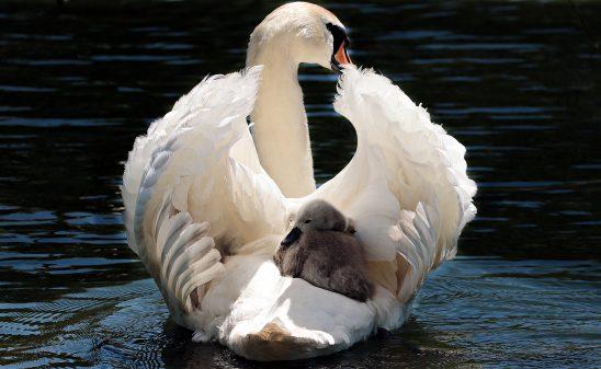 swan-2350668