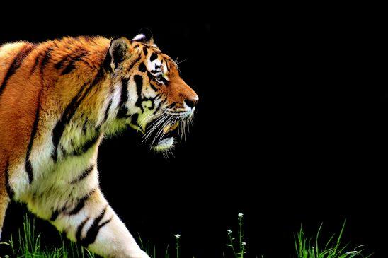tiger-2320819