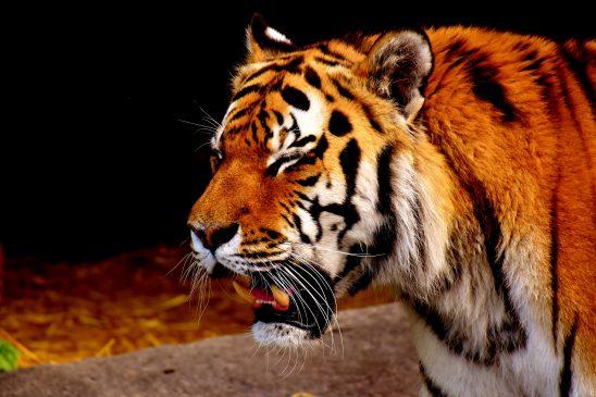 tiger-2329781